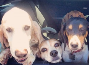 Hounds in the Car